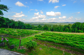 North Carolina Vineyard